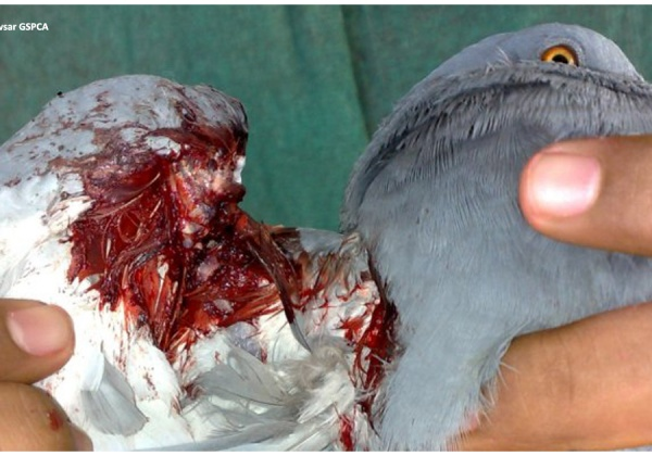 Manja Kills Birds and Humans – You Can Help Stop This