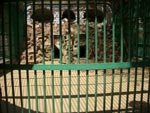 Lion Enclosure is Inappropriate for Lion and Lioness