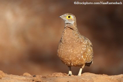 Burchell's Spotted Sandgrouse