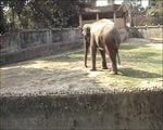 Elephant is Extremely Thin - No Access to Water or Food