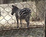 Enclosure Has Just Enough Space for One Zebra