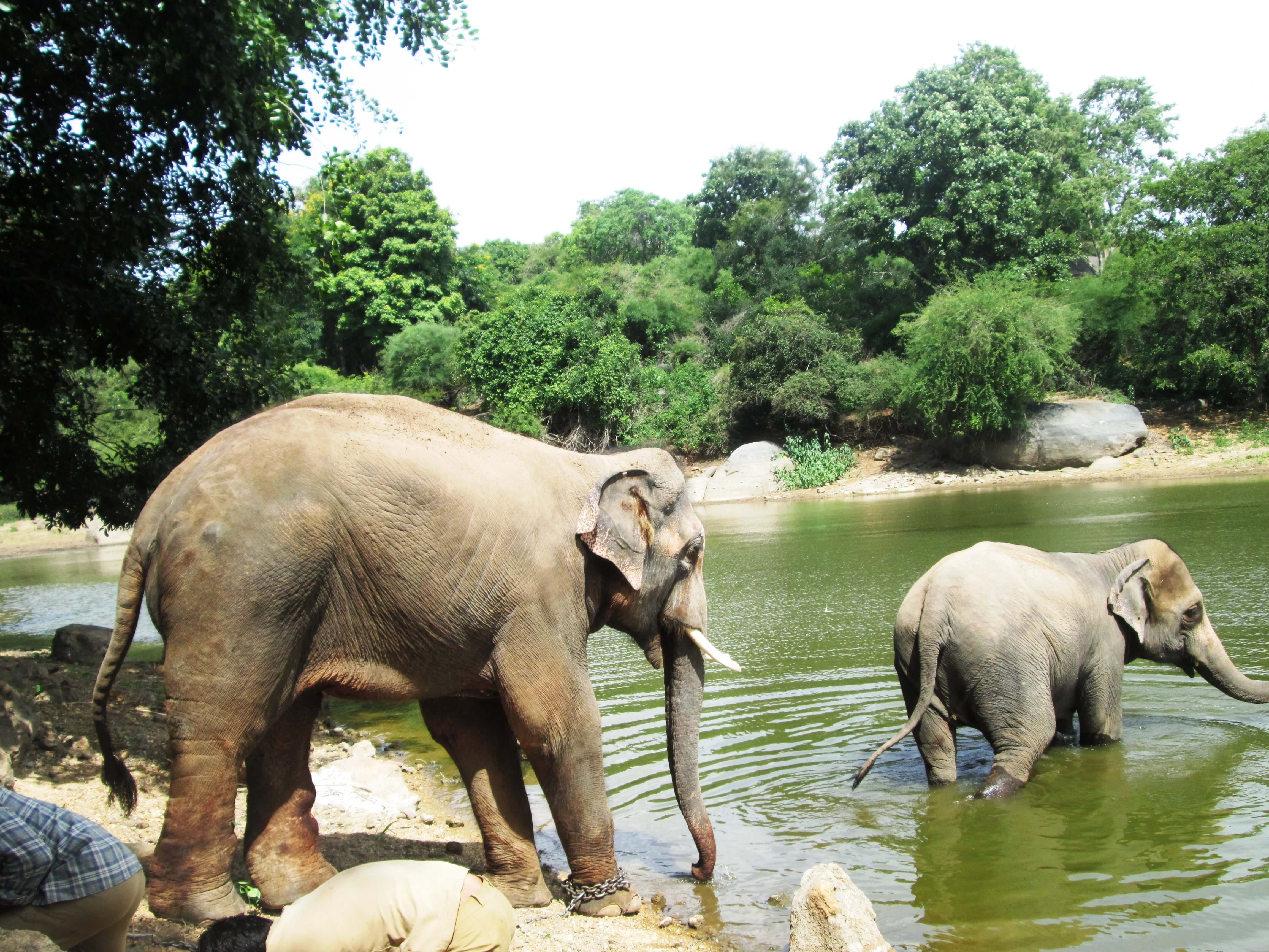 Here, Sunder is being readied to take a dip in the pond. Because he endured violent beatings and solitary confinement for much of his life, [https://www.petaindia.com/blog/caught-video-elephant-sunder-beaten/] his new caretakers are still handling him cautiously and keeping him lightly restrained but permitting him to move around. Abused elephants commonly hurt or kill people out of distrust, [http://indiatoday.intoday.in/story/elephant-went-fury-and-killing-many-during-kerela-festival2007/1/156056.html] so the caretakers are still a little apprehensive.