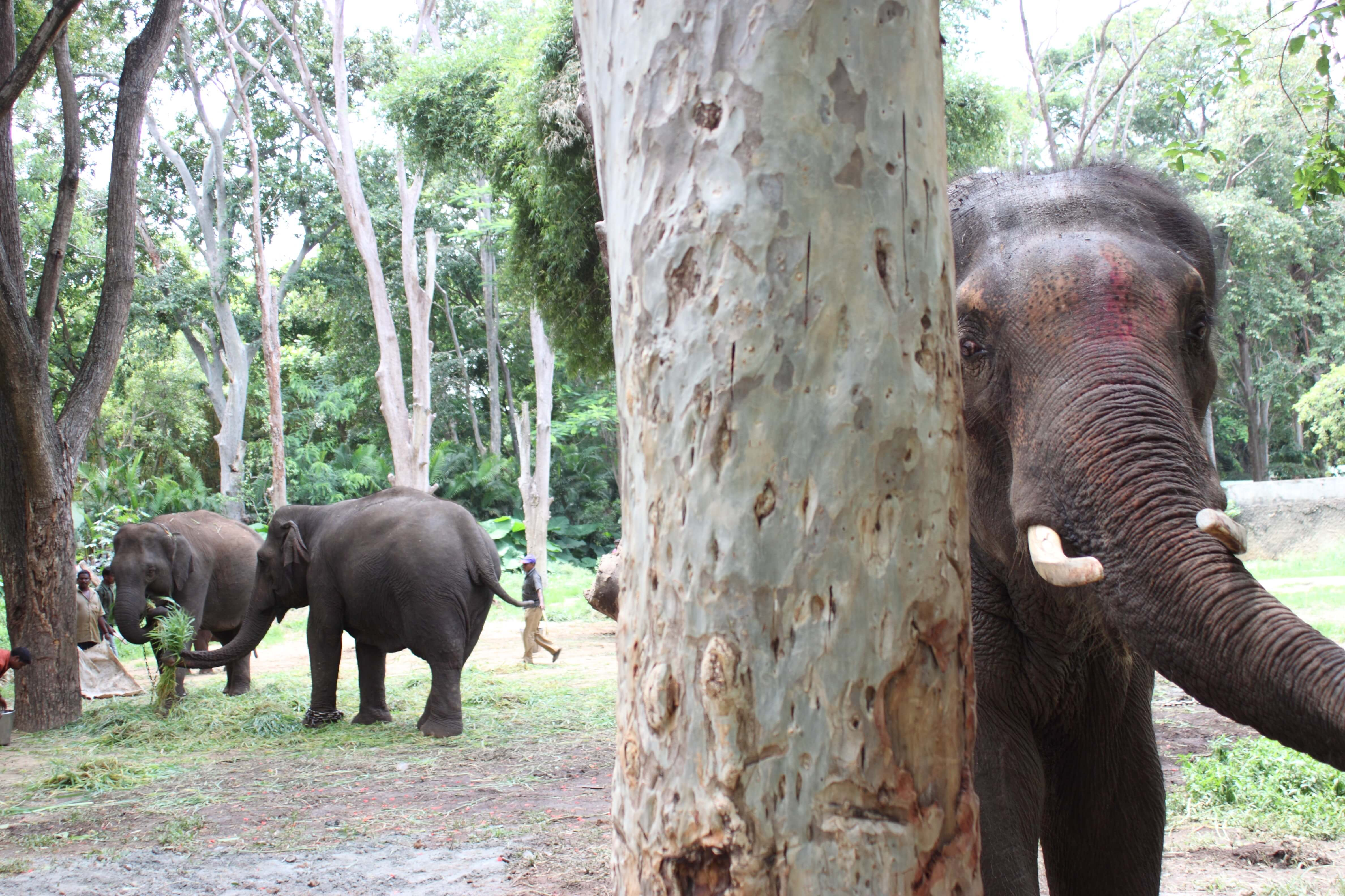 Some of Sunder's new family are being fed nearby so that he can get used to seeing them. Although the elephants are generally permitted to walk around on their own, they may be loosely restrained during feeding, when the mahouts need to keep them together (or separate). However, park officials have promised to fence the massive perimeter so that they may phase out such restraint.