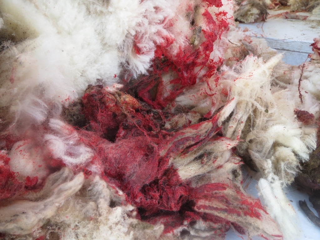 PETA US' investigator often found blood-soaked pieces of wool after shearers, who work quickly and roughly, severely cut sheep's bodies – even cutting at least one sheep's penis.