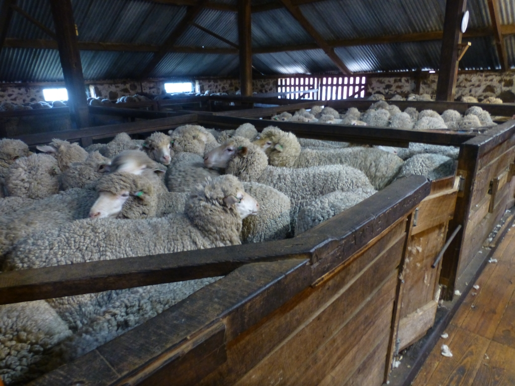 Sheep are kept in extremely crowded pens.