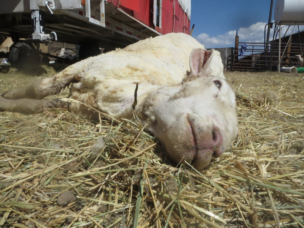 """This sheep died while her wool was being clipped off. A shearing crew boss said of sheep who die during shearing, """"It happens … every year""""."""