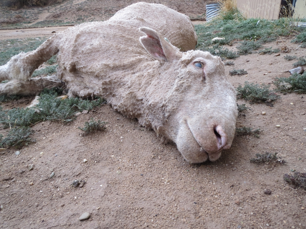 A shearer repeatedly twisted and bent this sheep's neck, breaking it. The shearer kicked the sheep head-first down a chute. PETA US' investigator found her dead.