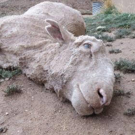 HELP NOW: Sheep Killed, Punched, Stamped on and Cut for Wool