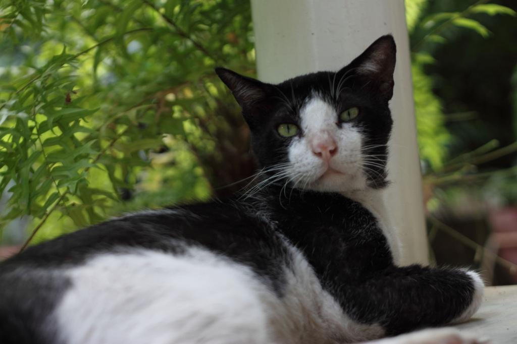peta_rescued_cat_bholu