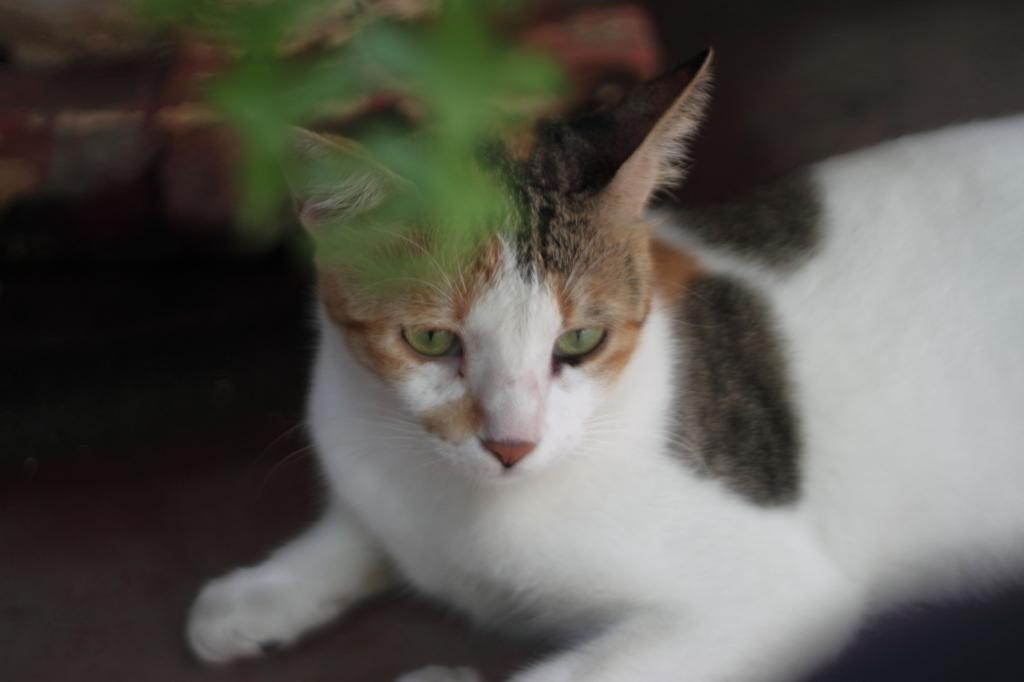 peta_rescued_cat_diana