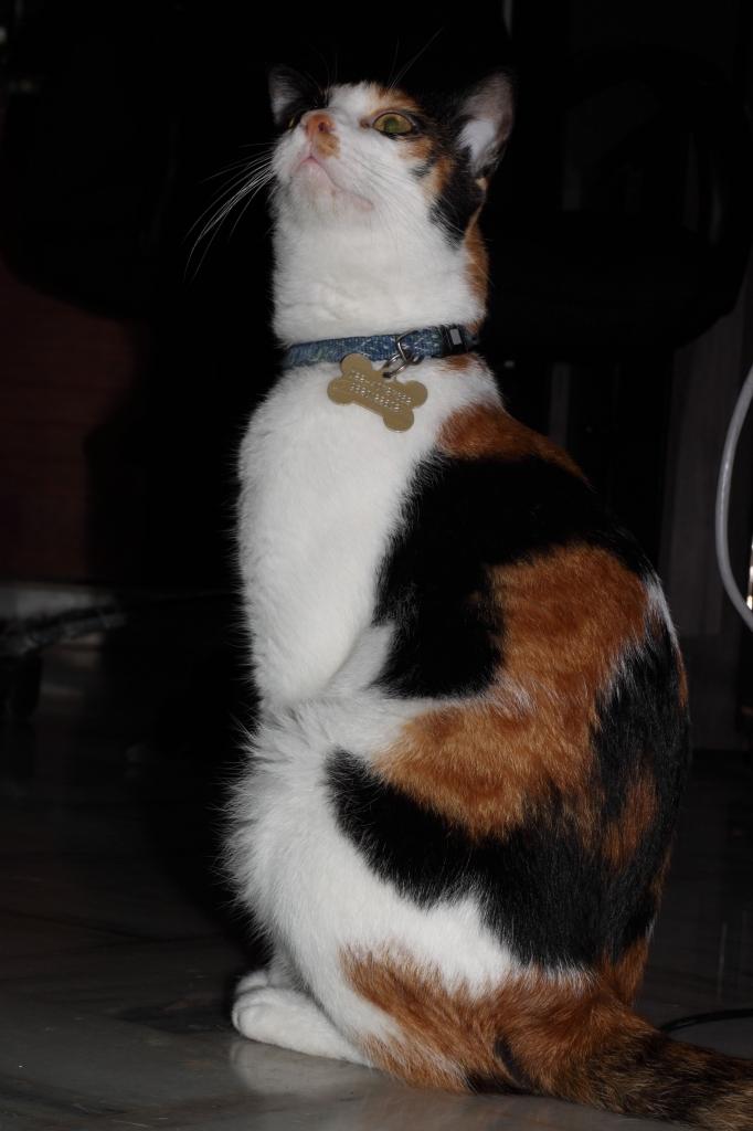 peta_rescued_cat_novu