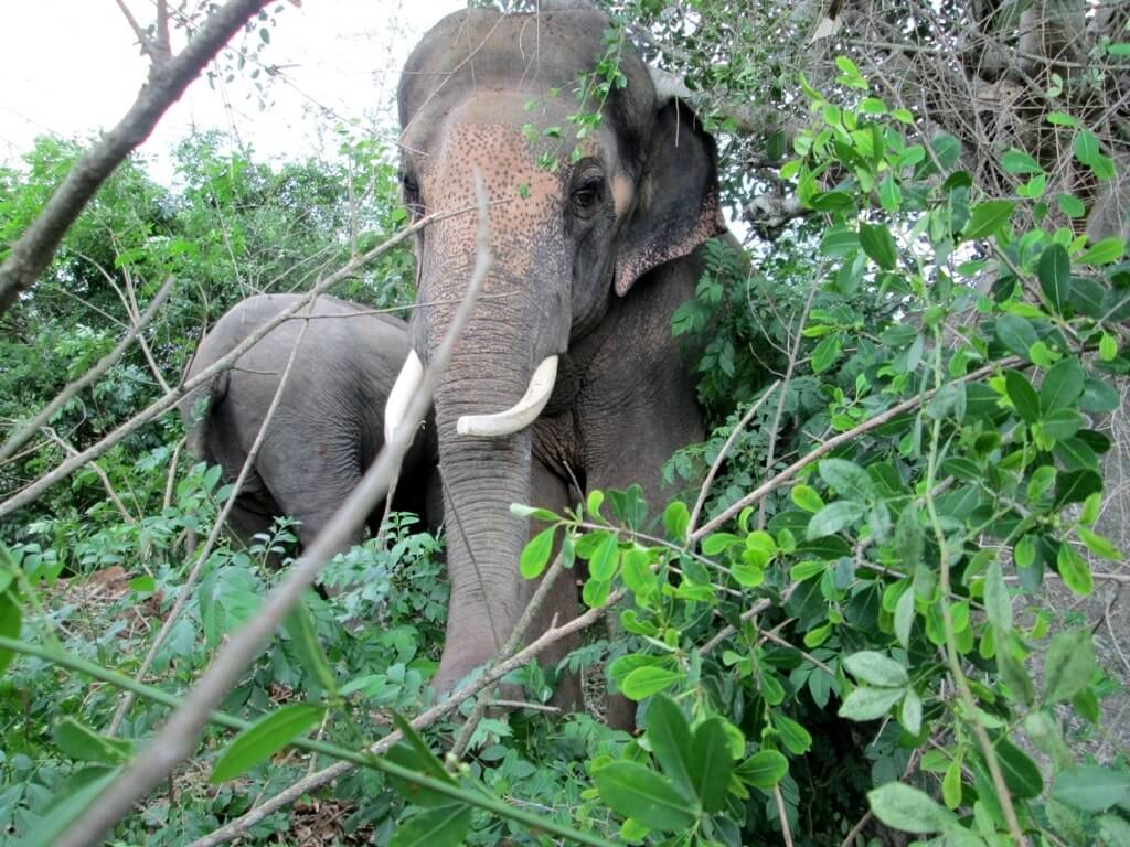sunder_grazing_with_laxmi_in_ forest