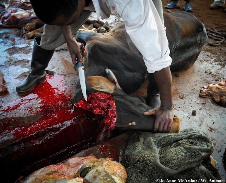 cow_beheading