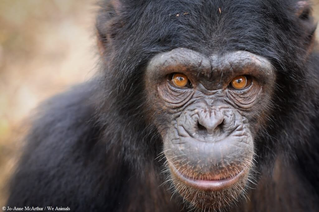 chimp_one_direction