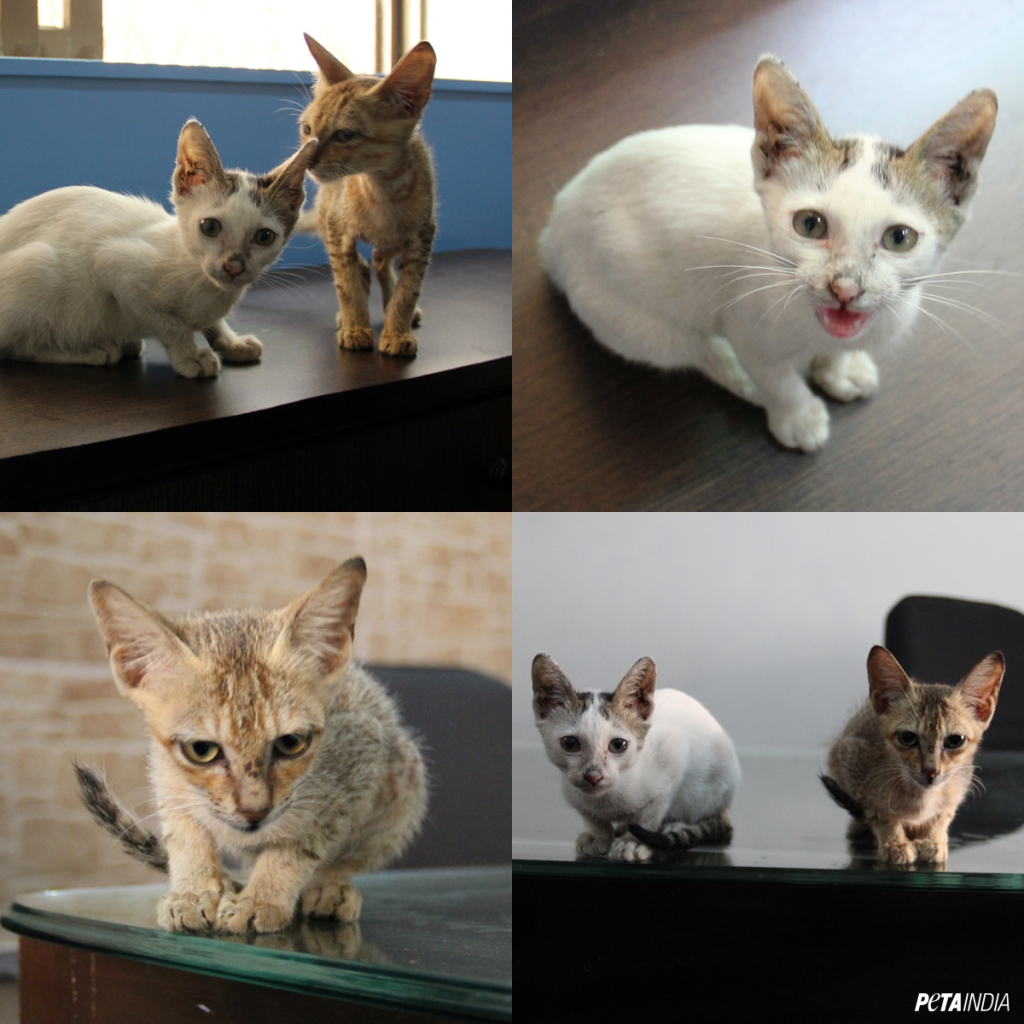 petaindia-social-rescued-kittens-collage-v02