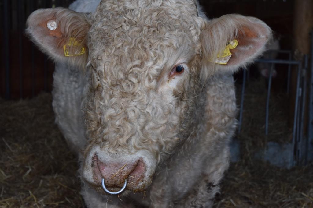 benjy-gay-bull-rescued