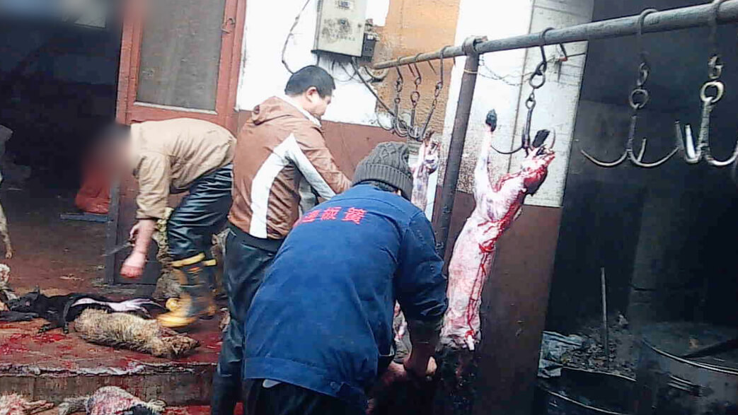 Undercover Investigation: Dogs Bludgeoned and Killed in Leather Industry