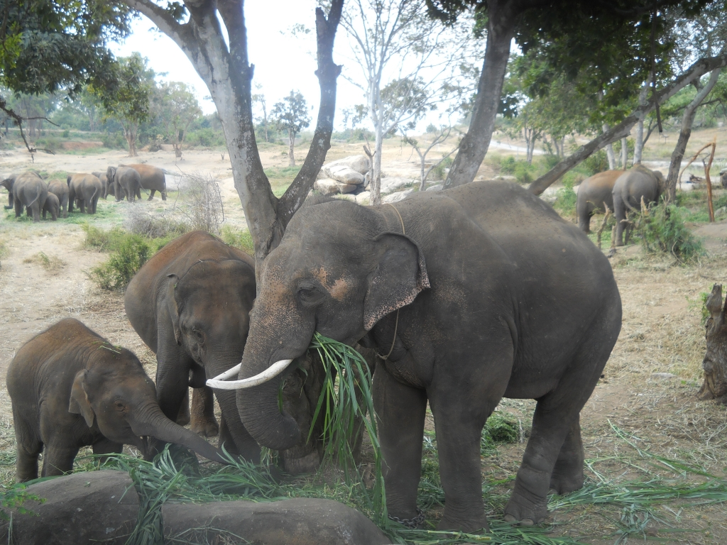 Sunder munching on grass with the other elephants.