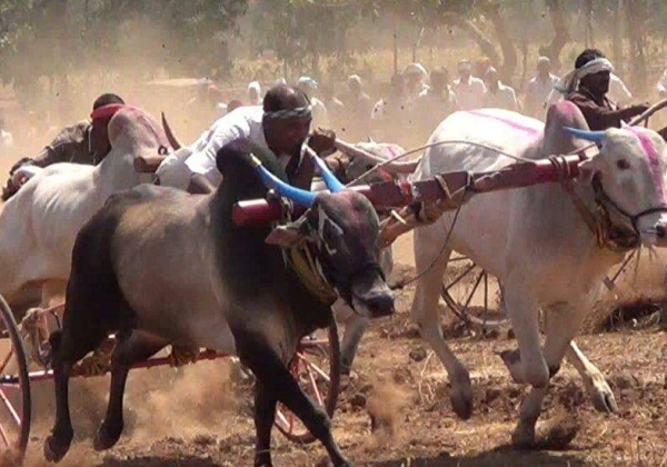 High Court of Bombay Keeps Bullock Cart Racing Banned in Maharashtra