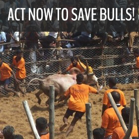 jallikattu festival for action alert - 280 by 280