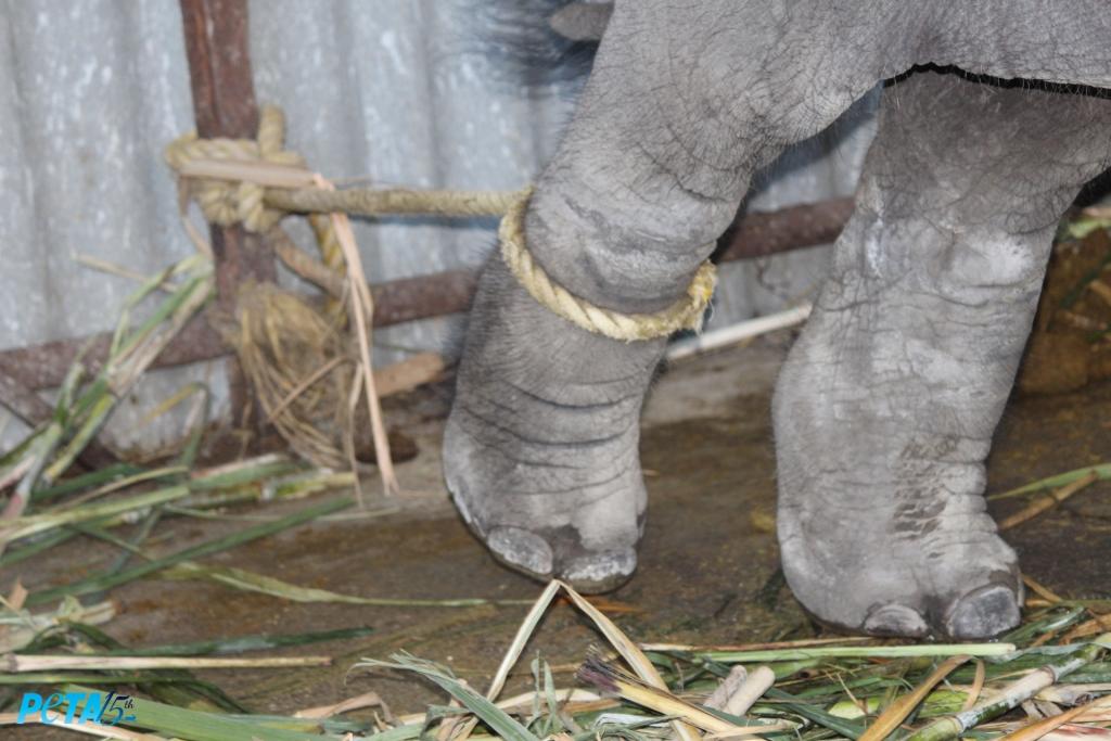Think nylon ropes tied around Suman's leg copy