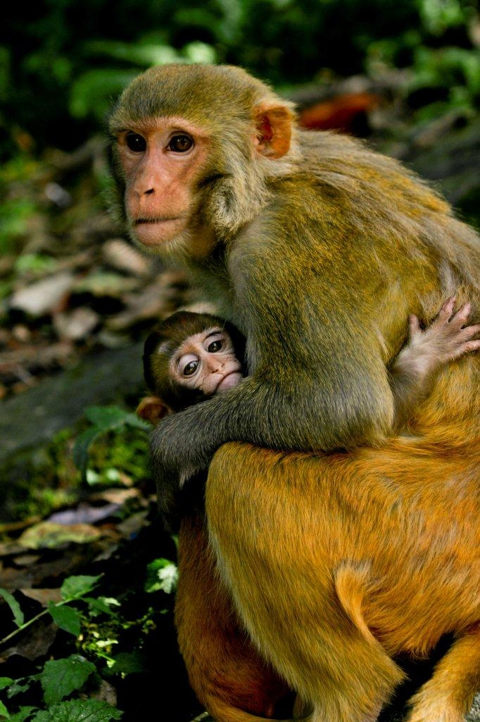 mother monkey and baby - resize