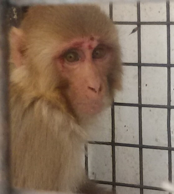 Monkey with a face injury