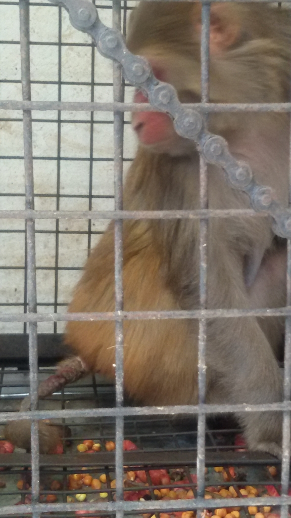 Monkey with a serious untreated injury of the tail