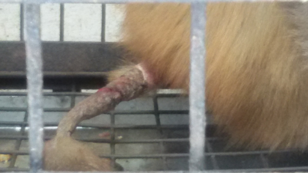An untreated tail injury
