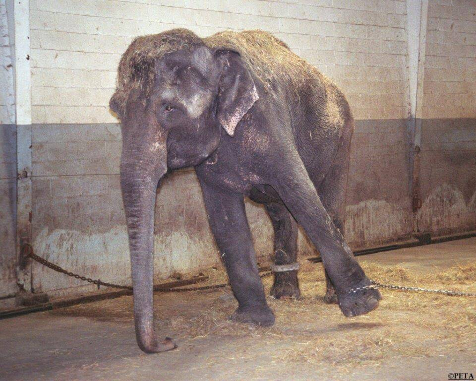 chained-elephant-option1