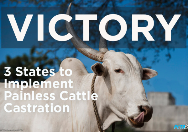 Several States to Implement Painless Cattle Castration