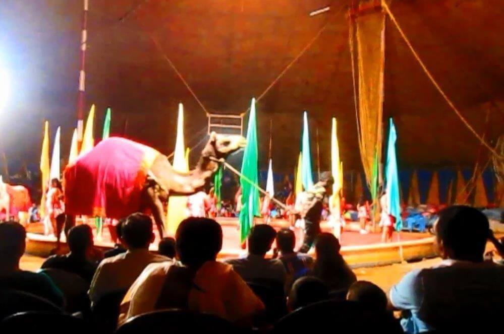 Blind-camel-forced-to-perform