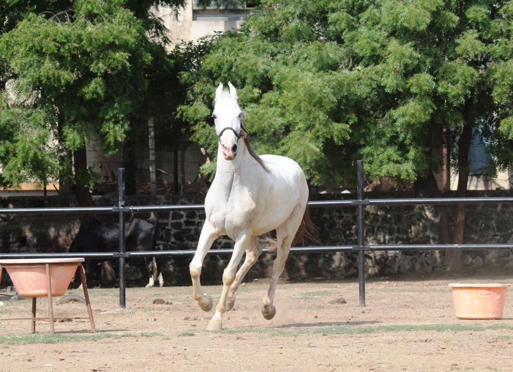 Rescued-horse-Akshaya-Sangli