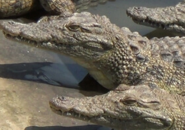 Exposed: Crocodiles, Alligators Killed for Bags and Watchbands