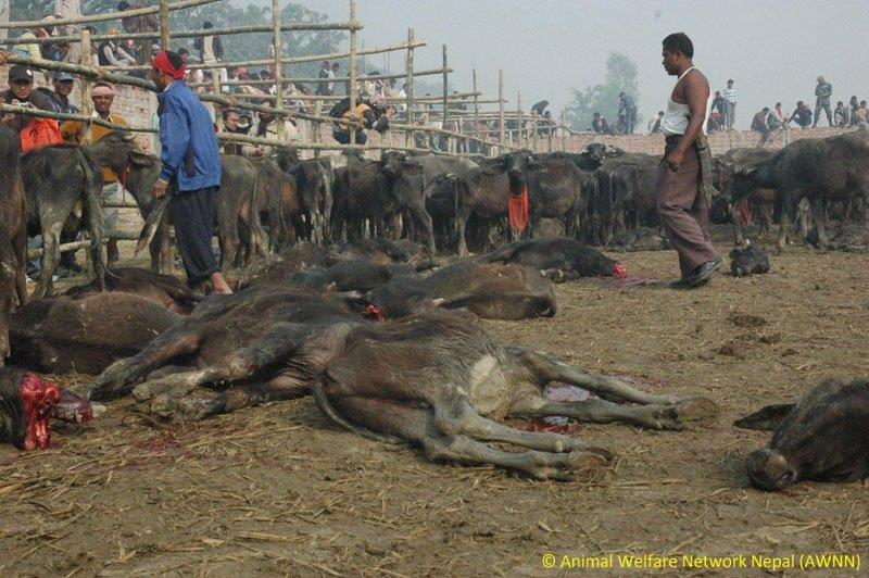 Gadhimai-animal-sacrifice