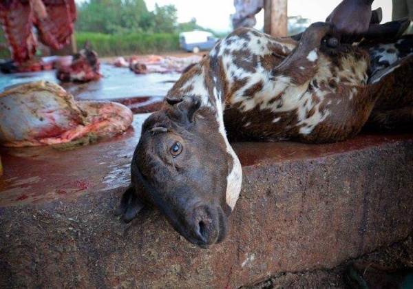 Ahead of Bakrid, PETA India Asks States to Enforce Laws Prohibiting Animal Sacrifices
