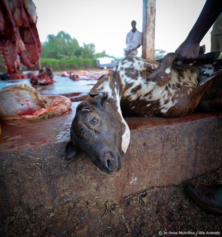 goat slaughtered