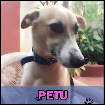 Peres rescued Petu, who was being bullied by other dogs.  His left eye was injured, but he eventually recovered and became a loving member of Peres' family.