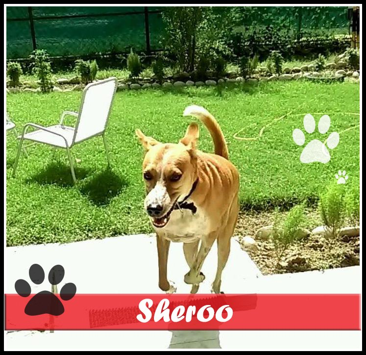 Sheroo started following Ranjeeta and her husband every day on their daily evening walks. When Sheroo was almost hit by a car, Ranjeeta decided to adopt him.