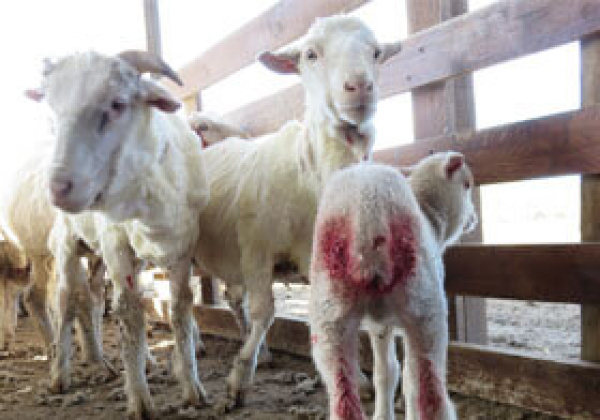 Exposed: Lambs Mutilated, Sheep Kicked and Hit With Electric Clippers on Argentine Wool Farm