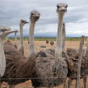 Exposed: Juvenile Ostriches Butchered for Hermès and Prada 'Luxury' Bags