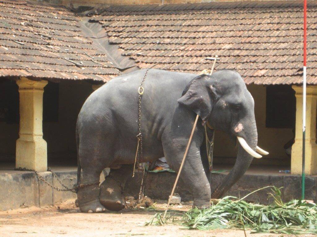 Elephant kept under scorching sun after parade_29.04.2015