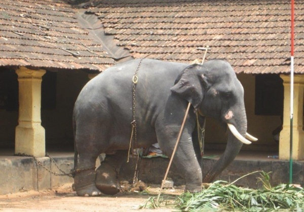 SC Stays Kerala Government's Planned Scheme to Legalise 289 Captive Elephants