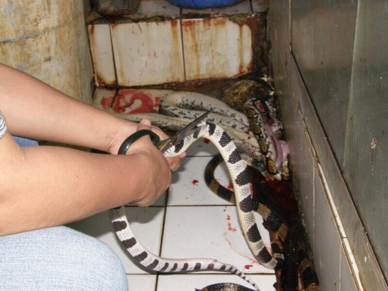 Snakes-body-being-cut-open-with-scissors-before-being-skinned-800x600