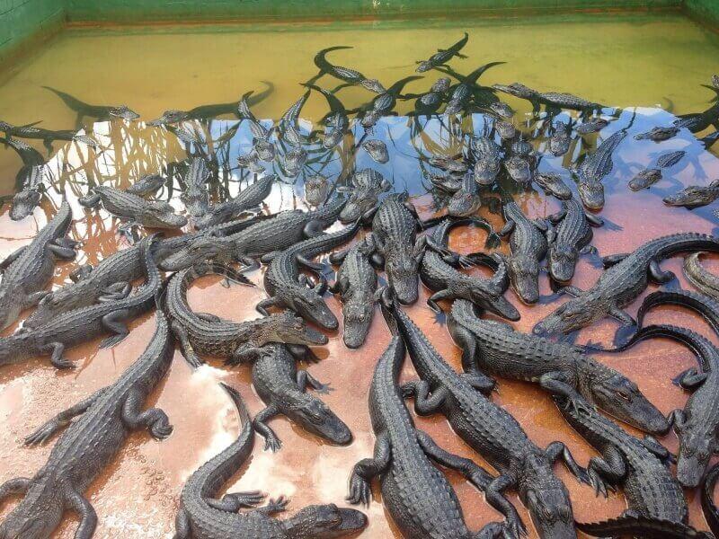alligators-1301892_1920-800x600