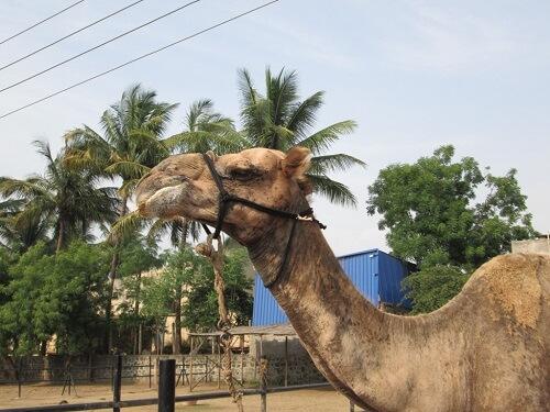 2015-05_camel20Waheed20at20RBH
