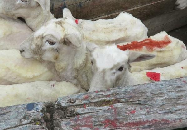 'Italian Wool' Exposed: Sheep Kicked, Cut and Killed
