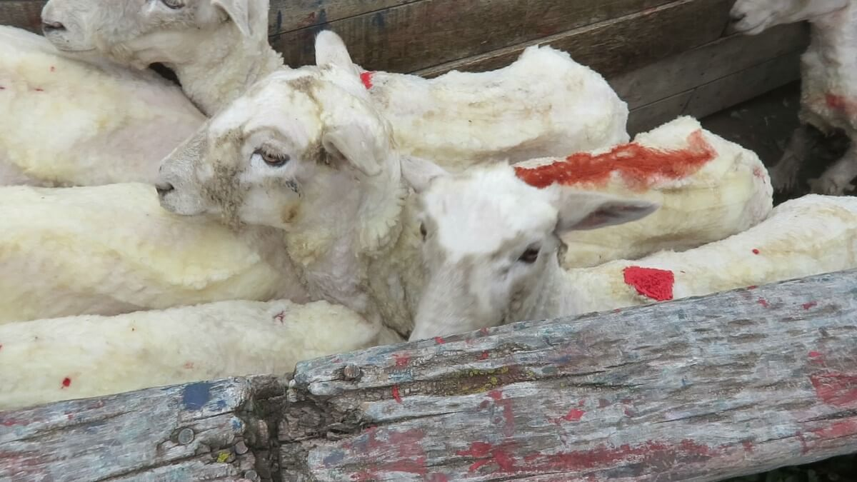 'Italian Wool' Exposed: Sheep Kicked, Cut and Killed