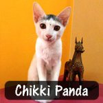 Chikki Panda was abandoned on the streets, and one of her leg bones was dislocated. After Lavanya Nethala found her, she took her to a veterinarian and got her treated. Chikki Panda is now living happily with her family.