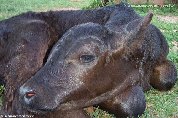 New Indian Veterinary Education Regulations to End Calf Killing, Reduce Other Cruelty